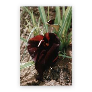 Typhonium lillifolium