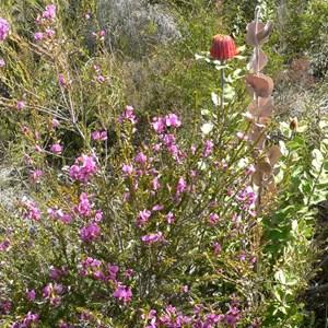 Gompholobium scabrum growing in heath.