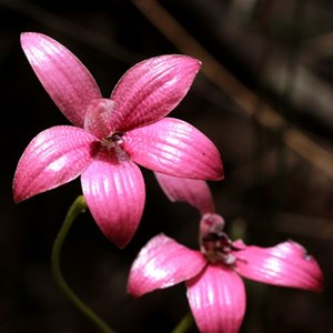 Pink Enamel Orchid, Elythranthera emarginata
