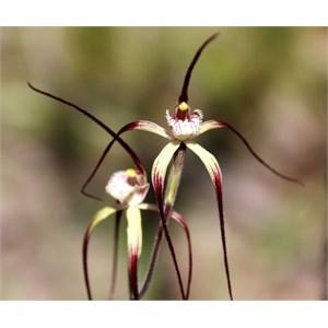 Chapmans spider orchid, Caladenia chapmanii