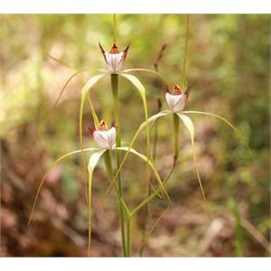 Chrismas spider orchid, Caladenia serotina