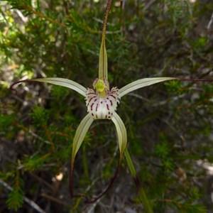 Pendant spider orchid, Caladenia pendans