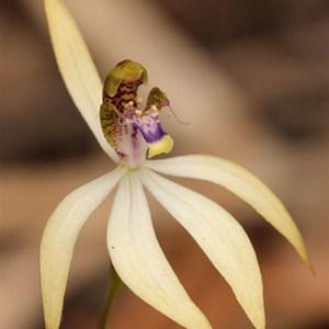 Leafless orchid, Praecoxanthus aphyllus