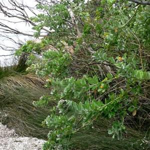 Callistachys lanceolata or Native Willow