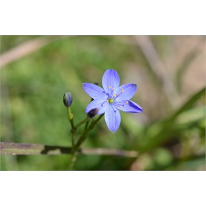 Chamaescilla corymbosa - Spring Gully SA