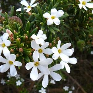 Wedding Bush, Ricinocarpos megalocarpus
