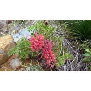 Fuchsia Grevillea - Grevillea bipinnatifida