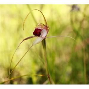 Tuart spider orchid, Caladenia georgei