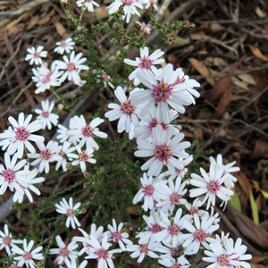 Olearia ramosissima - Much-branched Daisy-bush