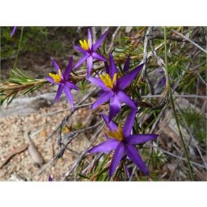 Calectasia grandiflora - Blue Tinsel Lily