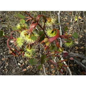 Moort - Eucalyptus platypus, Fitzgerald River NP, WA