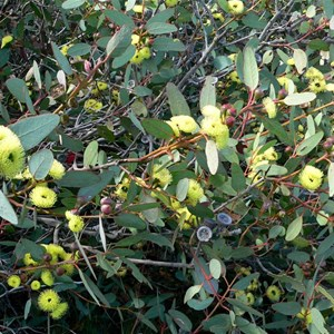 Eucalyptus preissiana near Bremer Bay, WA