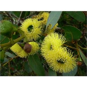 Eucalyptus preissiana near Hopetoun, WA