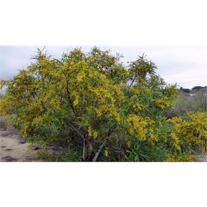 Orange Wattle - Acacia saligna