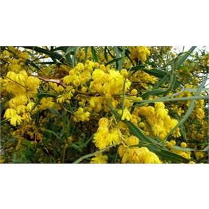 Orange Wattle - Acacia saligna