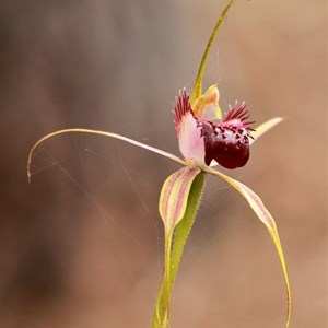 Swamp Spider Orchid near Dunsborough.