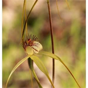 Common White Spider Orchid, Caladenia longicauda