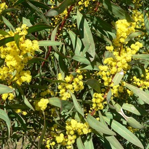 Red Stem wattle, Acacia rubida