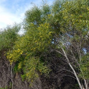 Coastal Wattle - Acacia cylops.