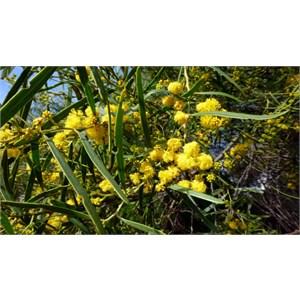 Coastal Wattle - Acacia cylops.
