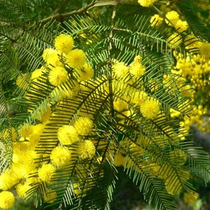 Green Wattle, Acacia decurrens