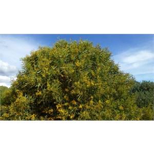 Summer-scented Wattle - Acacia rostellifera.