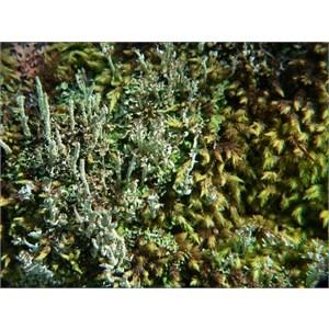 Unusual lichen with columnar shape