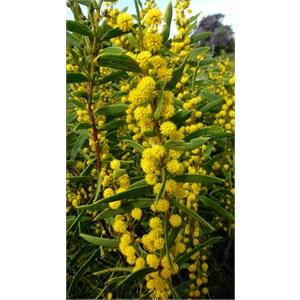 Rigid Wattle - Acacia cochlearis.