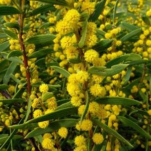 Rigid Wattle - Acacia cochlearis.