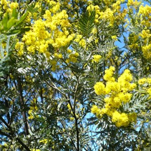 Black Wattle, Acacia dealbata
