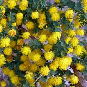 Prickly Moses - Acacia pulchella