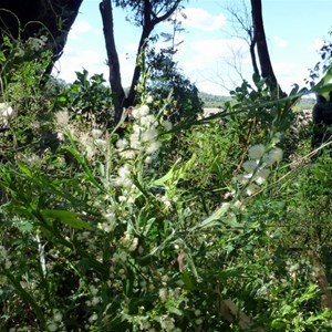 Winged Wattle - Acacia alata