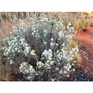Olearia at Neale Junction, WA