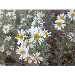 Olearia at Neale Junction, WA.
