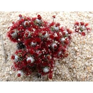 Drosera pycnoblasta, Dragon Rocks NR, WA