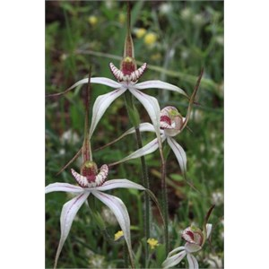 Group of Perenjori Spider Orchids