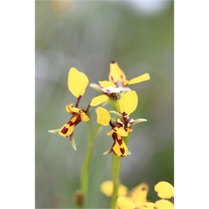 Northern Bee Orchid