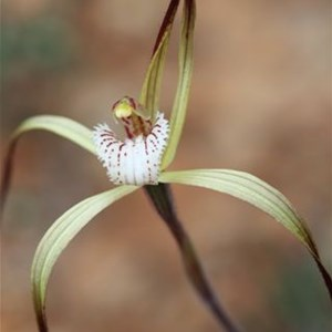 Yellow Spider Orchid