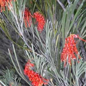 Red Toothbrush Grevillea near Wave Rock, WA