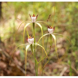 Lodges Spider Orchid, Caladenia lodgeana