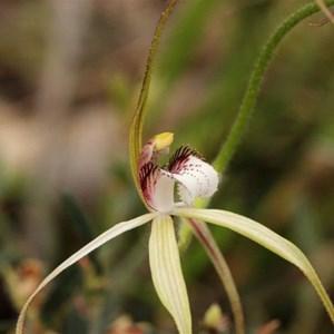 Frail Spider Orchid, Caladenia uliginosa