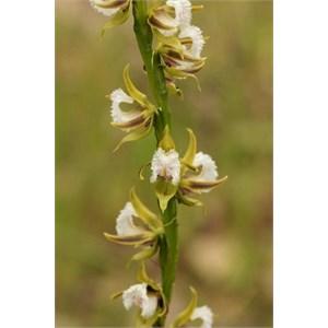 Fringed Leek Orchid, Prasophyllum fimbria