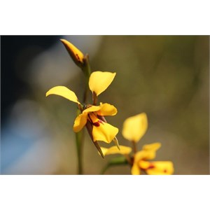 augusta bee orchid