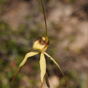 margaret spider orchid