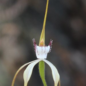 merrits white spider orchid