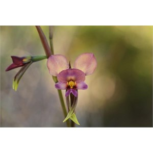 purple pansy orchid
