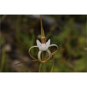 Caladenia dorrienii