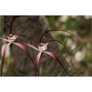 Caladenia footeana