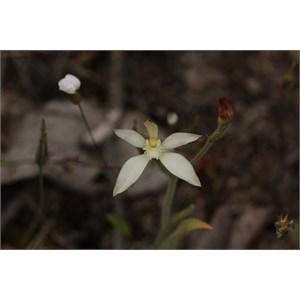 Caladenia marginata