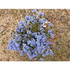 Philotheca nodiflora, Fitzgerald NP, WA